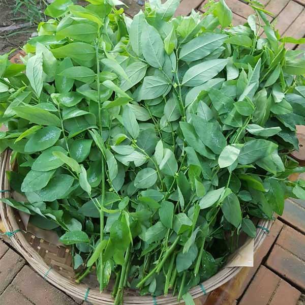 Lá rau ngót có tác dụng lợi tiểu, giảm độc, hoạt huyết…