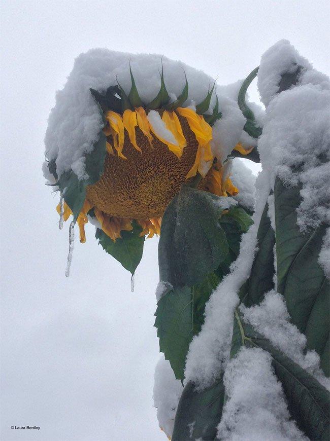 Vườn hướng dương ủ rũ trước giá băng