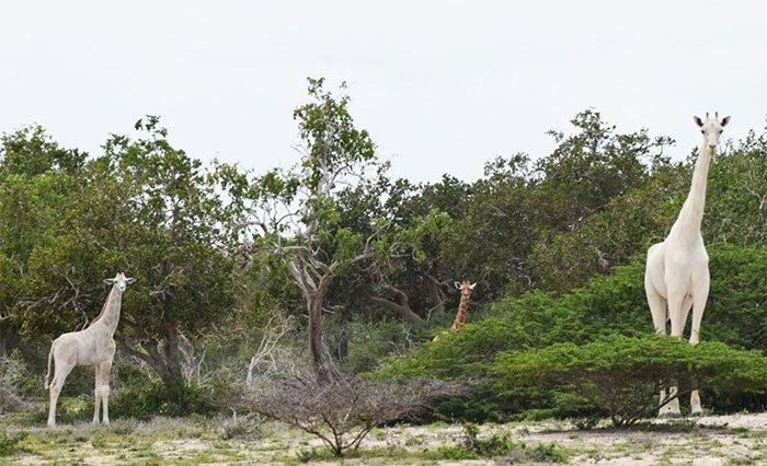 Cơ quan bảo vệ động vật hoang dã Kenya phát hiện con hươu cao cổ lông trắng hiếm gặp.