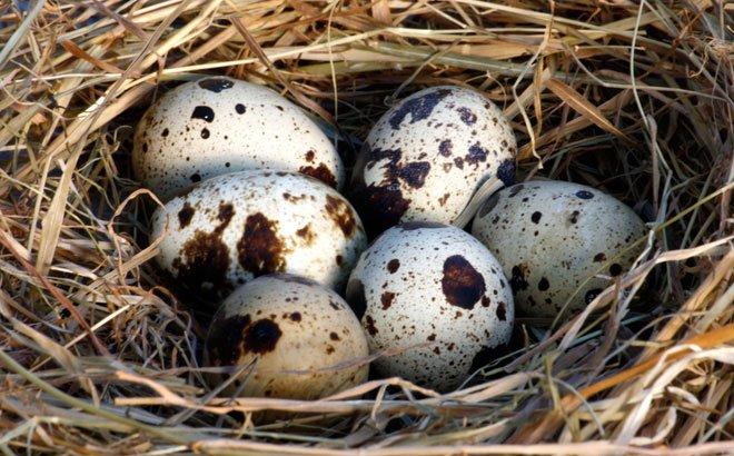 Trứng cút giúpđiều hòa kinh nguyệt, bổ huyết, làm đẹp da, ngăn ngừa thiếu máu...