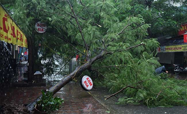 Một cây phượng cao khoảng 10m bật gốc đổ xuống đường tại ngõ 279 Đội Cấn lúc 7h30.