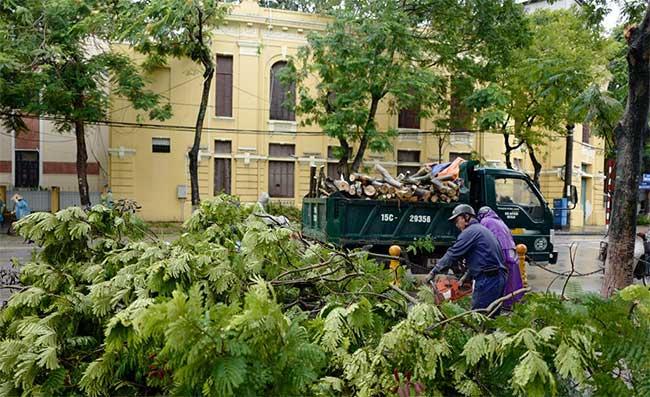 Có rất nhiều cây phượng bị gió mạnh quật đổ ở Hải Phòng