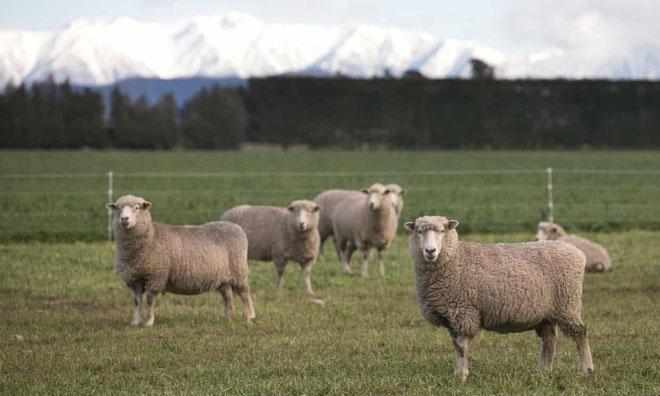 Theo số liệu năm 2016, New Zealand có 27,5 triệu con cừu, nhiều gấp 6 lần dân số nước này.