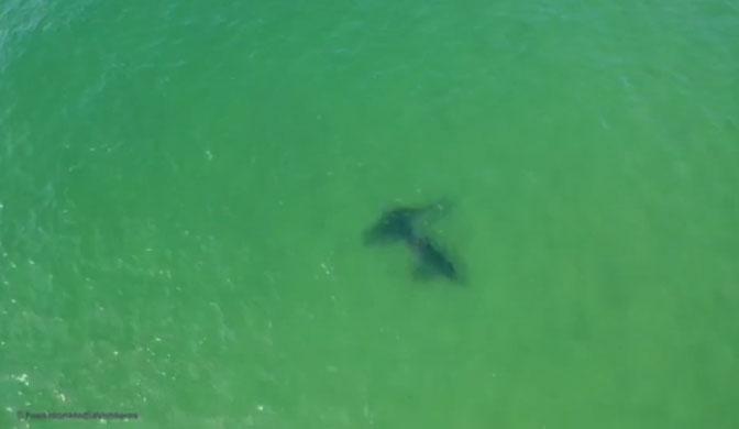 Hình ảnh đầu tiên về quá trình tương tác bất thường giữa một đôi cá mập trắng.