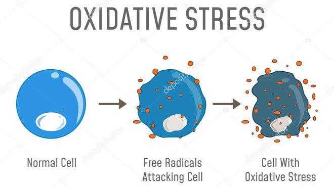 Các nhà khoa học phát hiện ra rằng ROS có thể tấn công và phản ứng với DNA.