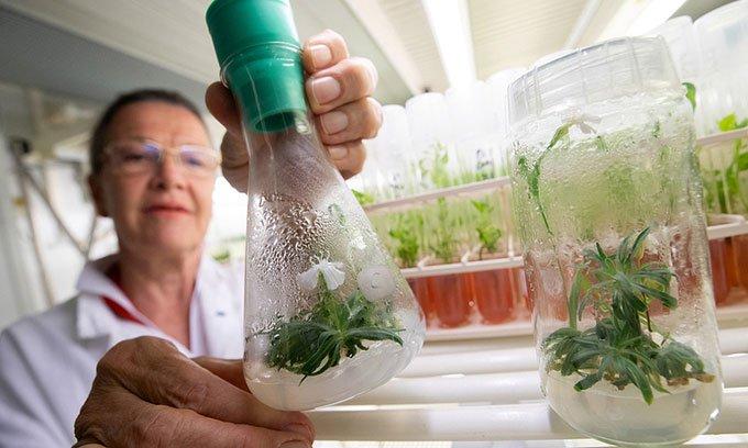 Cây mọc từ hạt giống 32.000 năm tuổi ra hoa hôm 30/6 trong phòng thí nghiệm.