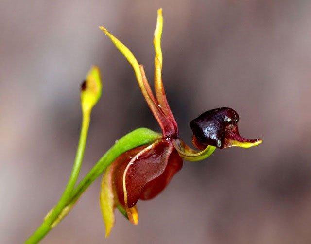 Hoa lan vịt