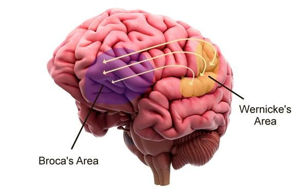 Vùng Broca trong bộ não người.