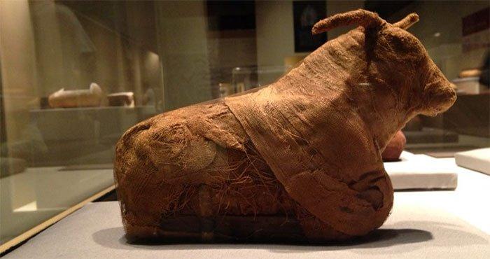 Xác ướp bò đực tìm thấy trong quan tài.