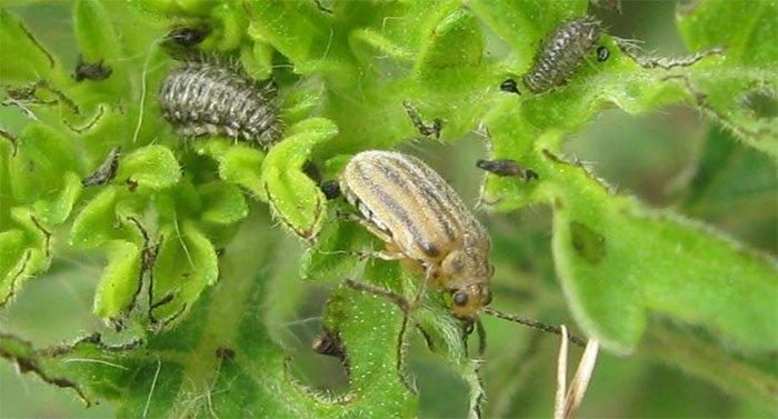 Loại bọ cánh cứng này sẽ giúp tình trạng dị ứng ở châu Âu giảm đi nhanh chóng.