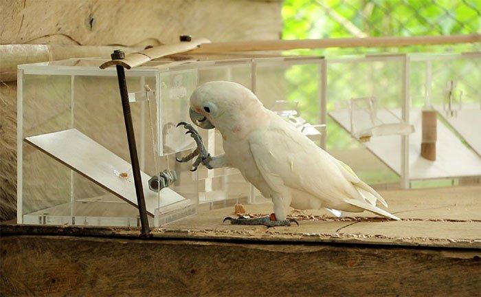 Chú vẹt nhà thực hiện thử thách để lấy thức ăn