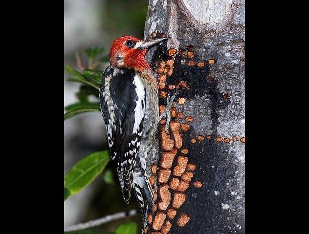 10 bí mật thú vị về loài chim gõ kiến