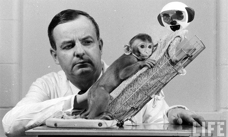 Trường hợp con khỉ sử dụng cả cocaine và mooc-phin trong 2 tuần liền sẽ bị chết.