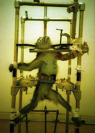 Chú khỉ đáng thương bị đem ra làm vật thí nghiệm.