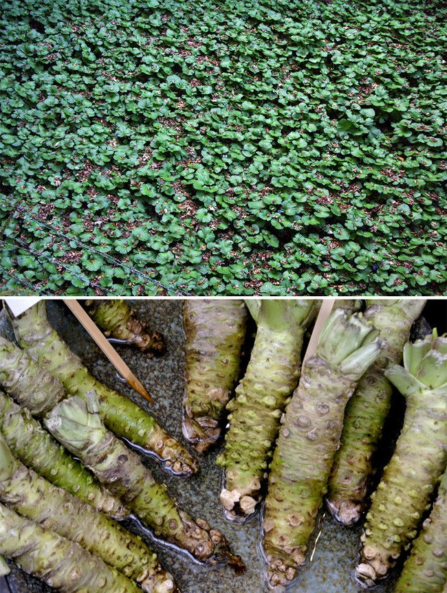 Thực chất, wasabi chúng ta ăn được mài từ phần củ và rễ của cây wasabi, chúng có vị cay nồng pha chút ngọt.