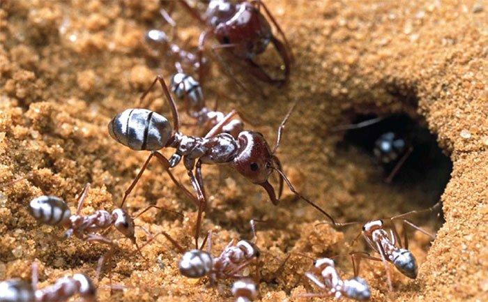 """Hầu hết các loài kiến đều để lại """"dấu hiệu"""" trên những quãng đường chúng đi qua"""