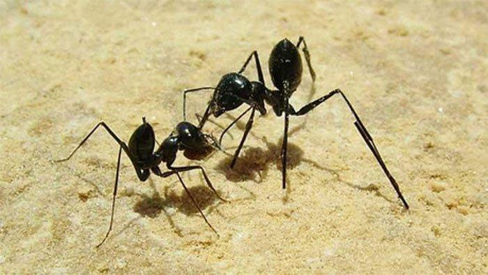 Kiến có khả năng đếm bước chân để về đúng tổ của mình.