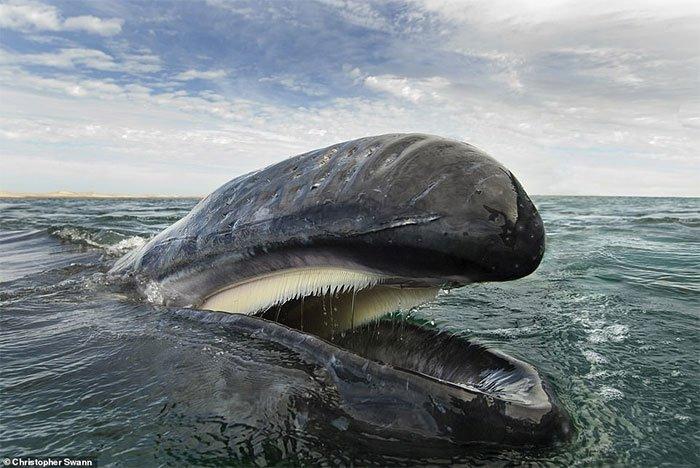 rong ảnh, một con cá voi xám ở vịnh California.
