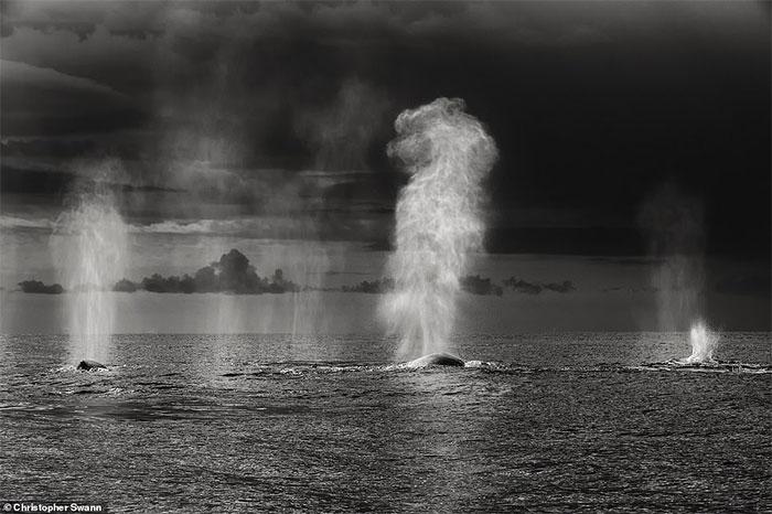 Những con cá voi lưng gù tại Mexico đang thực hiện quá trình thổi không khí ra khỏi phổi.