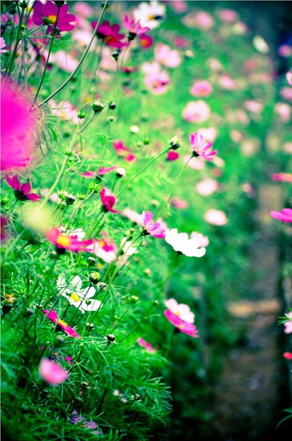 Kỹ thuật trồng hoa cánh bướm trong vườn nhà
