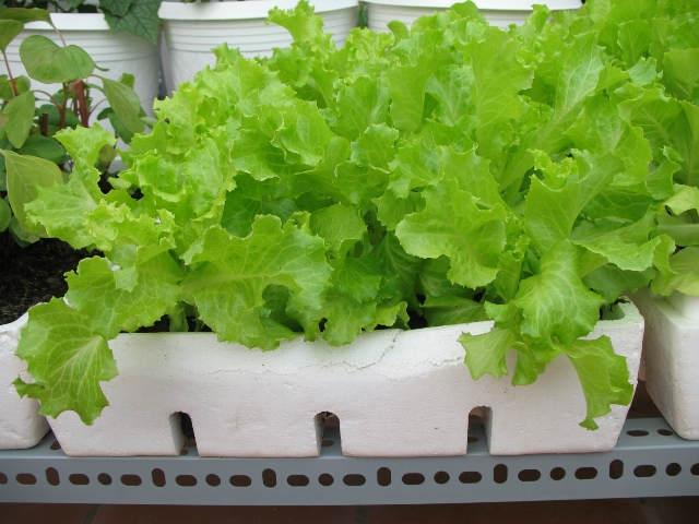 Kỹ thuật trồng cây rau xà lách trong thùng không hề khó