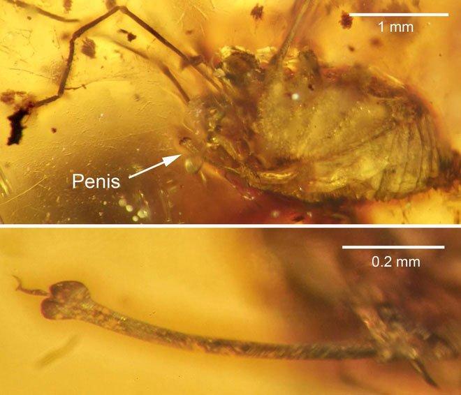 Hổ phách 99 triệu năm tuổi có chứa một con nhện chân dài.