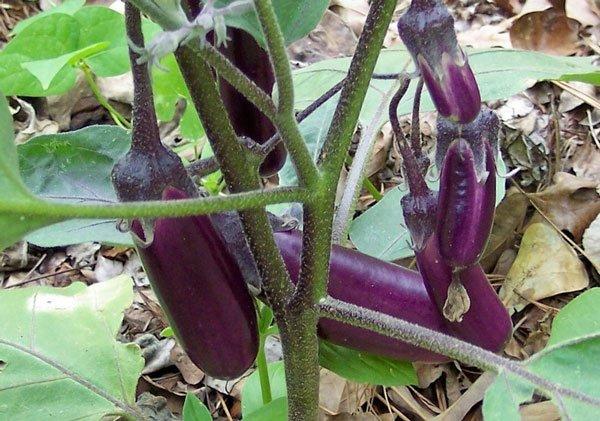 Cà tím là loại rau quả rất giàu dinh dưỡng