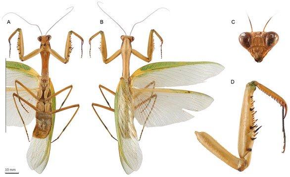 Các bộ phận của loài bọ ngựa mới ở Việt Nam