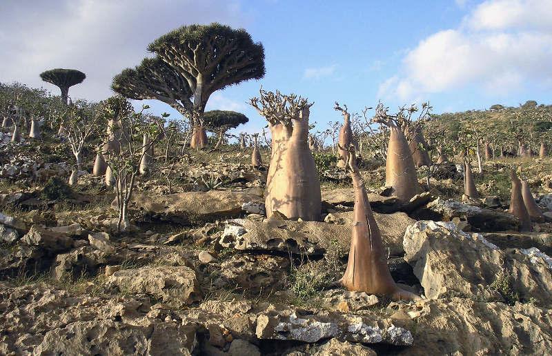 Đảo Socotra đã được UNESCO công nhận là di sản thiên nhiên thế giới