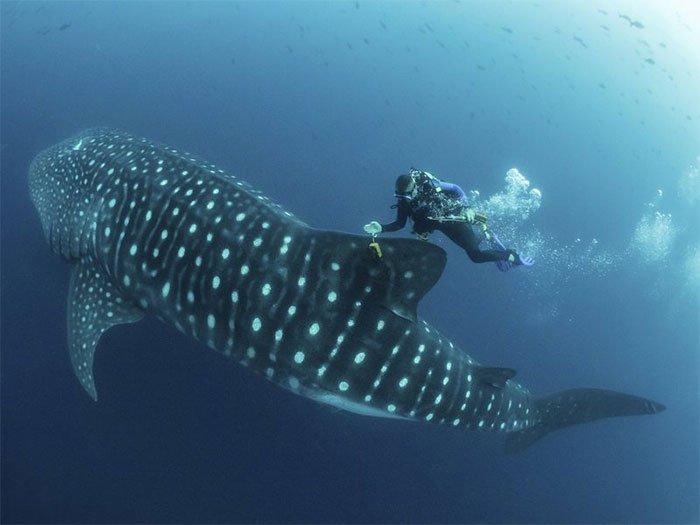 Ông Jonathan Green kiểm tra thẻ định vị GPS gắn vây trên một con cá mập voi