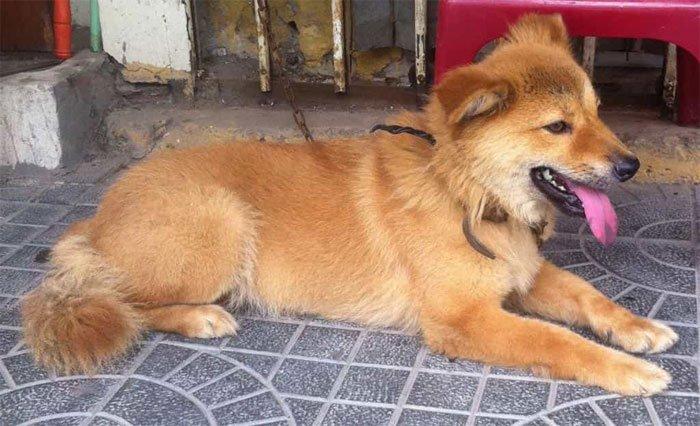 Giống chó Bắc Hà còn được biết đến với cái tên là Vitespitz.