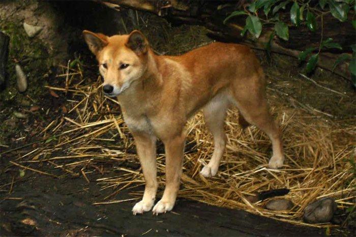 Chó Lài là giống chó rất thông minh, nhanh nhạy và có một chút hung dữ.
