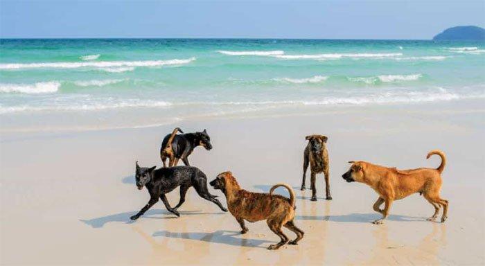 Chó Phú Quốc xuất hiện từ khá lâu, khoảng 400 năm trước tại đảo Phú Quốc.