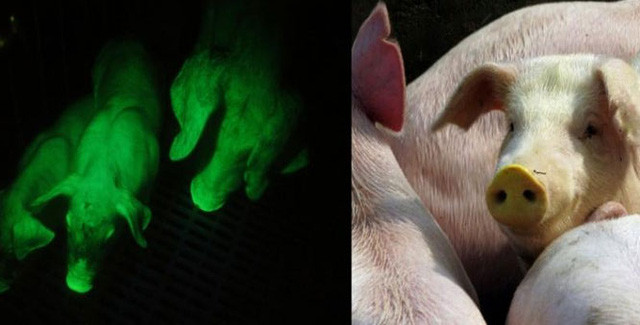 Các nhà khoa học Đài Loan đã tiến hành cấy dữ liệu gene vào phôi của lợn.