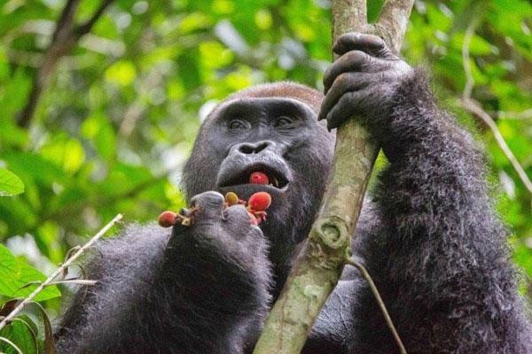 Quá trình hấp thụ và chuyển hóa rượu từ các loại trái cây là một phần nguyên nhân cứu vượn người khỏi tuyệt chủng.