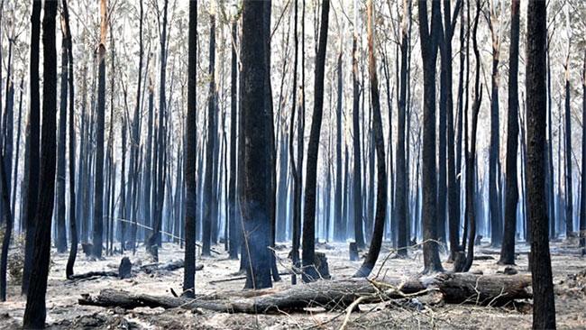Cây rừng bị thiêu trụi ở Old Bar, cách Sydney 350 km về phía Bắc
