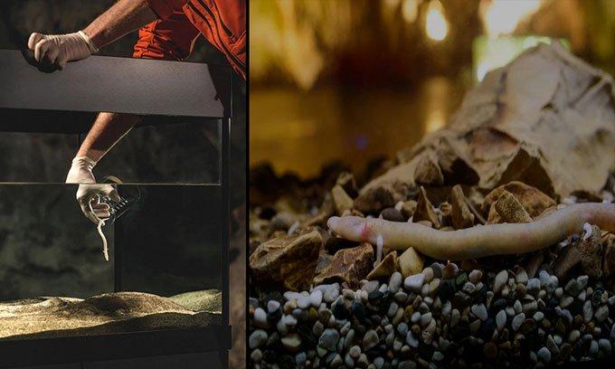 Manh giông non được trưng bày trong bể kính tại hang Postojna