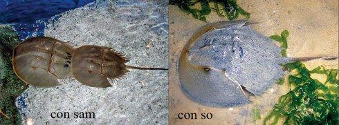 Phân biệt sam biển và so biển để tránh bị ngộ độc