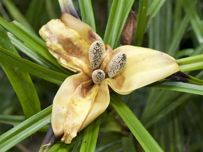 Một loài lan đặc trưng ở New Guinea