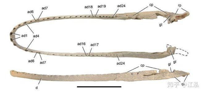 Hóa thạch của cá sấu Stomatosuchus.