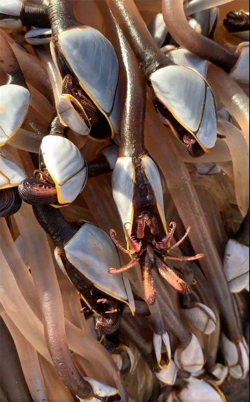 Hà ngỗng được coi là món ngon ở các nước vùng Địa Trung Hải như Bồ Đào Nha và Tây Ban Nha.