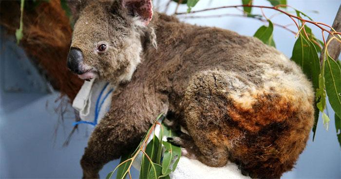 Các nhà sinh thái học ước tính khoảng 8.000 con gấu Koala đã chết kể từ khi đám cháy bắt đầu.