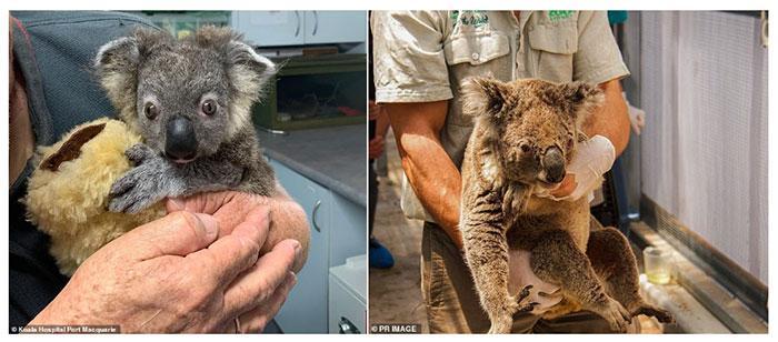Những con Koala sống sót sẽ gặp khó khăn trong việc tìm kiếm thức ăn và nơi trú ẩn