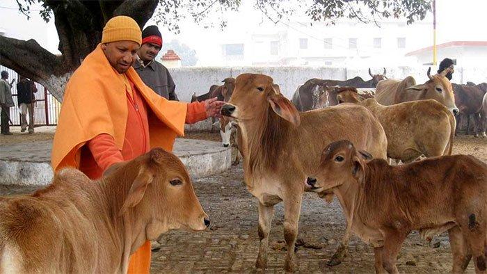 Bò được nuôi nhiều và trở thành một phần văn hóa ở Ấn Độ