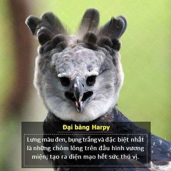 Đại bàng Harpy có lưng màu đen, bụng trắng