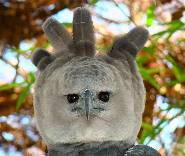 Loài đại bàng có ngoại hình kỳ lạ đến mức ai cũng tin rằng là con người... hóa trang