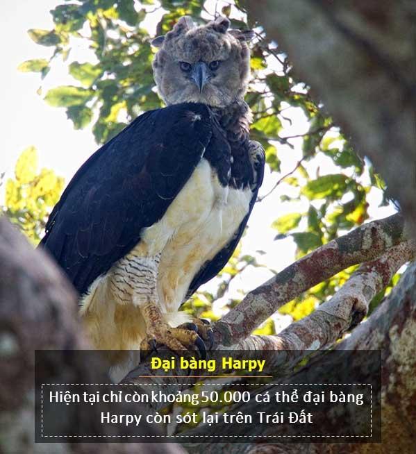 Hiện chỉ còn 50.000 con đại bàng Harpy trên thế giới