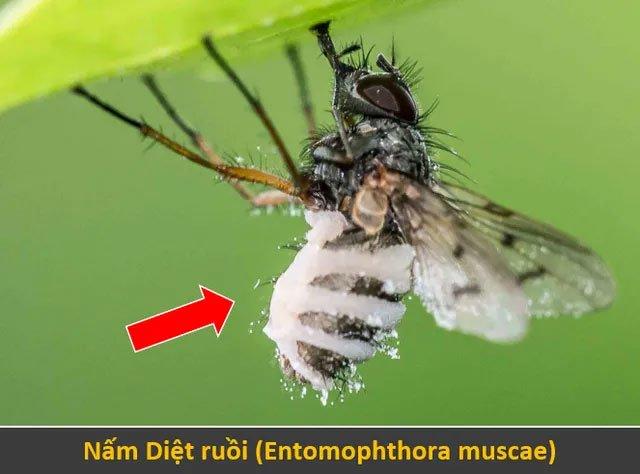 Nấm Diệt ruồi