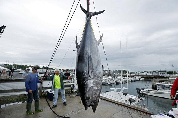 Với giá trị dinh dưỡng cao, loại cá này luôn được bán với giá hàng triệu USD.