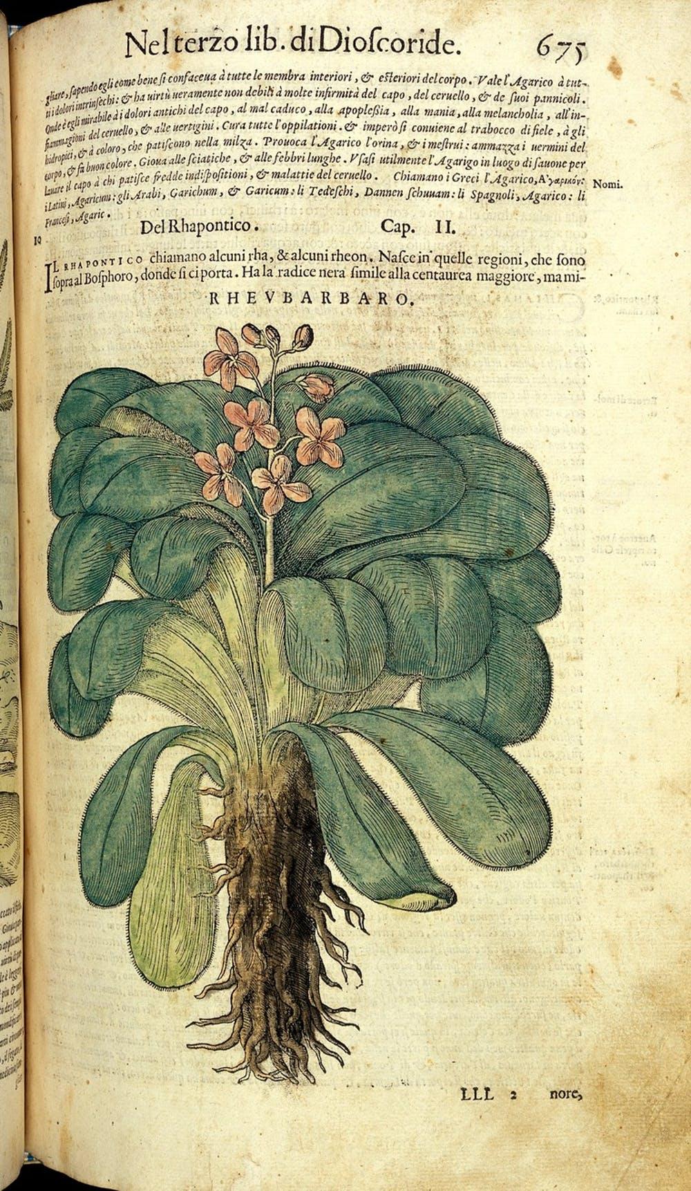 Cây đại hoàng được ghi chép trong một tài liệu y học thế kỷ 16. Ảnh: Wellcome Collection.